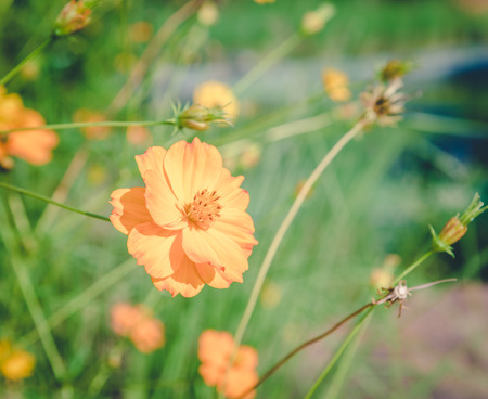 priceless: yellow cosmos flower in the park , vintage Stock Photo