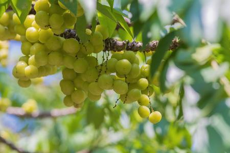 grosella: grosella espinosa fruta estrella en el árbol