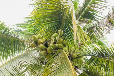 coco: Coco cl�ster en cocotero