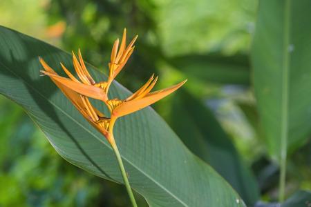 bird of paradise: centrado un paraíso de flores pájaro de color naranja con hojas verdes