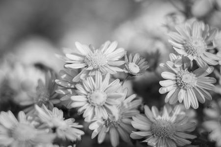 petites fleurs: Arrière-plan de nombreuses petites fleurs de chrysanthème, noir et blanc Banque d'images