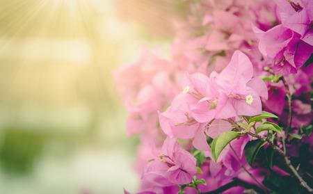 color bougainvillea: Purple Bougainvilleas flowers (Bougainvillea spectabilis) ,vintage