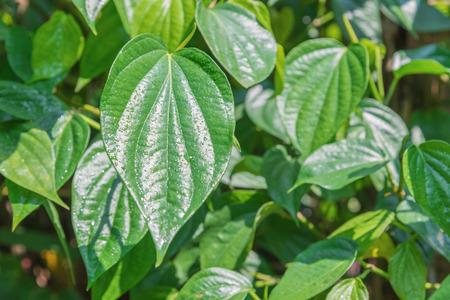 piper: fresh Betel Leaf (Piper Betle) green Stock Photo