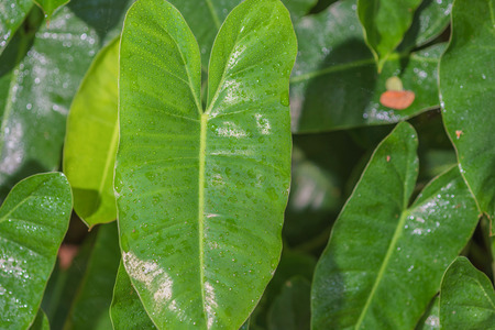 animal vein: Green Philodendron leaves background