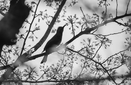 Silhouette Bird on Cherry BlossomTree,black and white