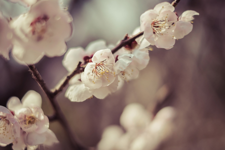day flowering: Beautiful flowering Japanese cherry - Sakura. Background with flowers on a spring day,vintage Stock Photo