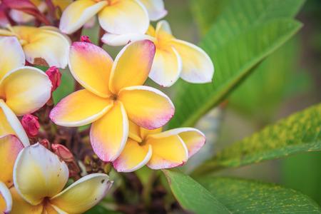 plumerias: Orange Plumerias flower (Plumeria acuminata)