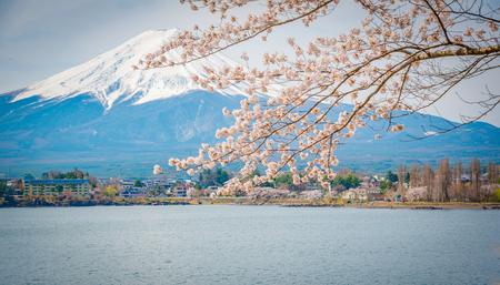 cereza: Montaña Fuji en primavera, Flor de cerezo Sakura