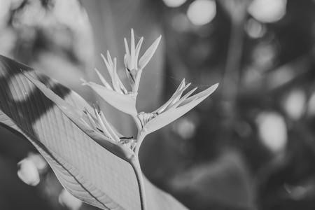 ave del paraiso: centrado una flor de naranja para�so de las aves, con hojas de color verde, blanco y negro