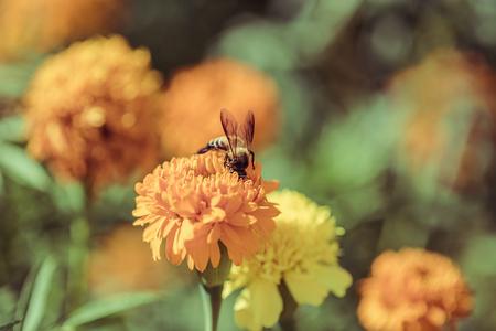 brighten: Bee on double orange marigold, genus Tagetes, or species Calendula officinalis brighten up the autumn garden, vintage