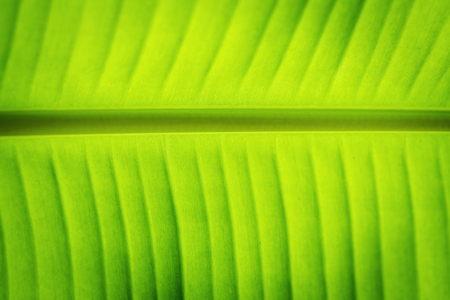 original ecological: closeup of banana leaf texture, green and fresh, in a park
