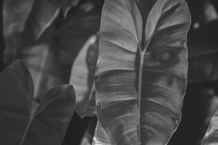 animal vein: Green Philodendron leaves background , black and white