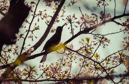 Silhouette Bird on Cherry BlossomTreevintage 写真素材