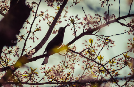 Silhouette Bird on Cherry BlossomTreevintage Stock Photo