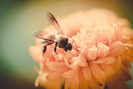 brighten: Bee on double orange marigold, genus Tagetes, or species Calendula officinalis brighten up the autumn garden vintage