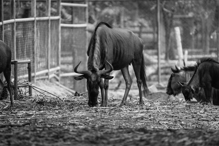 vivo: Ungulate, Wildebeest in the zoo, Thailand  black and white Stock Photo