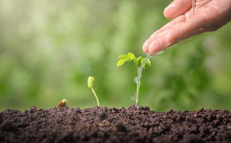 Les mains arrosent les plantes vertes.