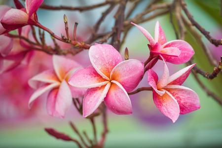 Luntom, Plumeria Flower Stock Photo