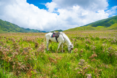 A local Tenggerese horse at Bromo, Tengger Semeru National Park, East Java, Indonesia Stock Photo