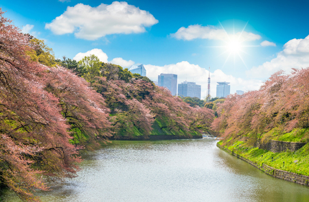 Sakura  tree at Kitanomaru Garden. japan landscape. Cherry Blossoms in Tokyo with Tokyo Tower on background Stock Photo