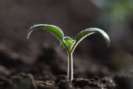 germinate: young tomato seedling in greenhouse with soft sunlight Stock Photo