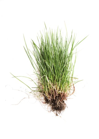fescue: fescue with roots isolated on white baxkground