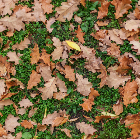 dry leaves: autumn brown carpet of oak dry leaves Stock Photo