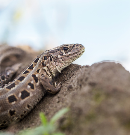 lacerta: macro sand lizard shot with natural background