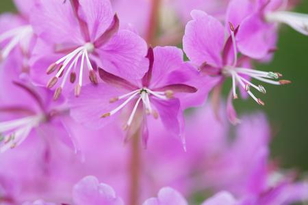 angustifolium: macro texture of purple flower fireweed in daylight