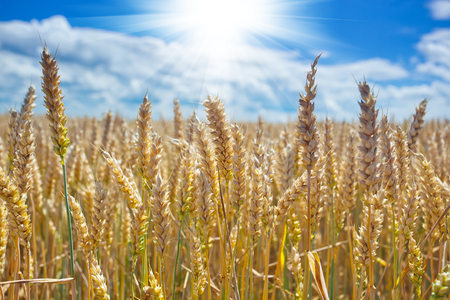 Spikelets of wheat in a field against a blue sky