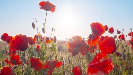 Sommermohnblumen auf grüner Wiese