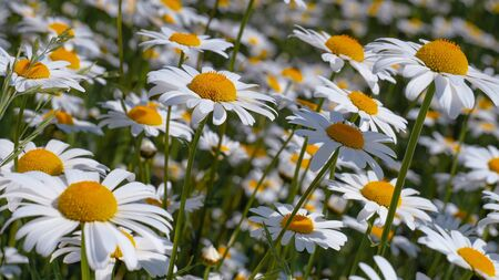 Ladybug on a camomile close-up in a summer field. Banco de Imagens