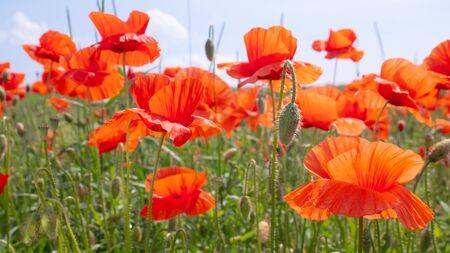 Summer poppy flowers on green field Banco de Imagens