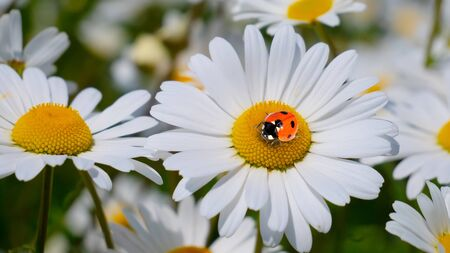 Ladybug on a camomile close-up in a summer field. 版權商用圖片