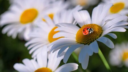 Ladybug on a camomile close-up in a summer field. Stockfoto