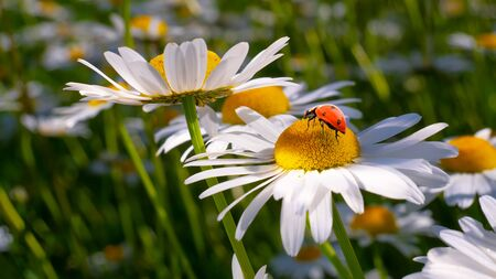 Ladybug on a camomile close-up in a summer field. 免版税图像