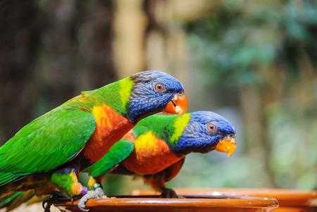 Green parrot near the feeders, eating fruit. Rainbow lorikeet