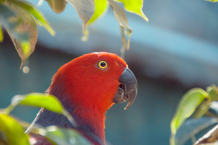 eclectus roratus: Red Parrot close up shot.  Beautiful parrot among the leaves. Eclectus parrot. Eclectus roratus.