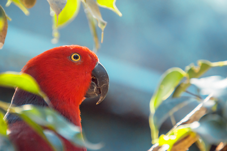 Red Parrot close up shot.  Beautiful parrot among the leaves. Eclectus parrot. Eclectus roratus.