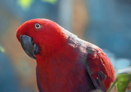 eclectus roratus: Red Parrot close up shot.  Beautiful parrot on a blue background. Eclectus parrot. Eclectus roratus. Stock Photo