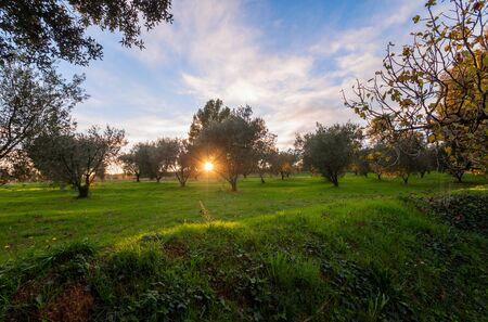 Beautiful landscape of olive field at sunset.  Olive Plantation in Spain.  Stok Fotoğraf