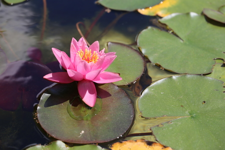 Water lily flowers blooming on pond