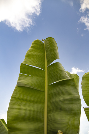 green banana palm tree leaves on a background of bright blue sky Stockfoto
