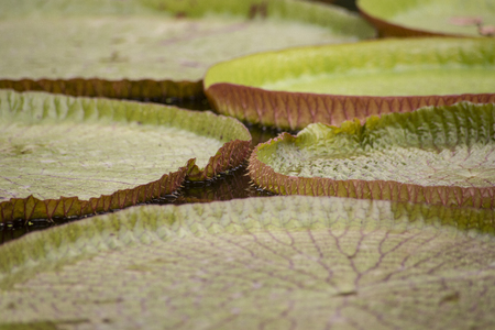 Closeup of the huge floating lilly pad leaves of Victoria Regia