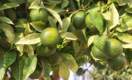 Green limes hanging on a tree in the garden. Stock Photo