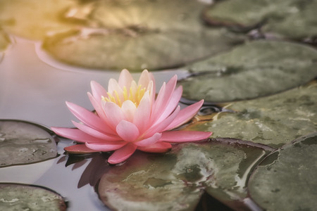 A beautiful pink waterlily or lotus flower Stock Photo - 116308047