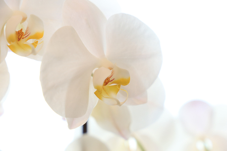 Closeup of a white orchid on white background