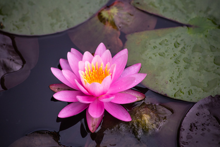 A beautiful pink waterlily or lotus flower