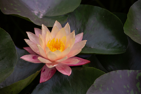 A beautiful yellow and pink waterlily or lotus flower