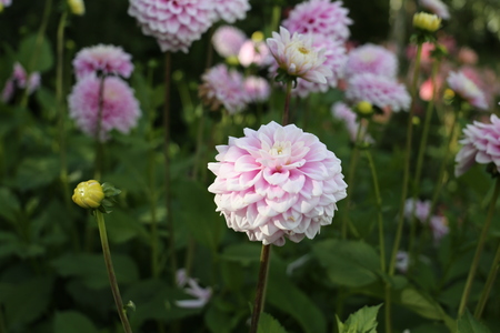 pink and white dahlia blossom, beautiful blooms brighten gardens.